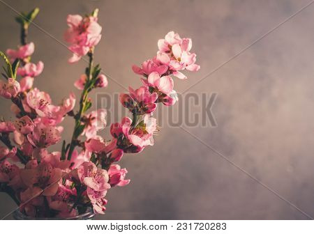 Pink Cherry Blossom Fragile Twigs Close Up With Copy Space On Gray Background, Retro Toned