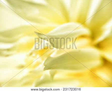 Macro Of A Bright Yellow Flower. Foreground: Central Petals Starting In Focus Then Flowing To Backgr