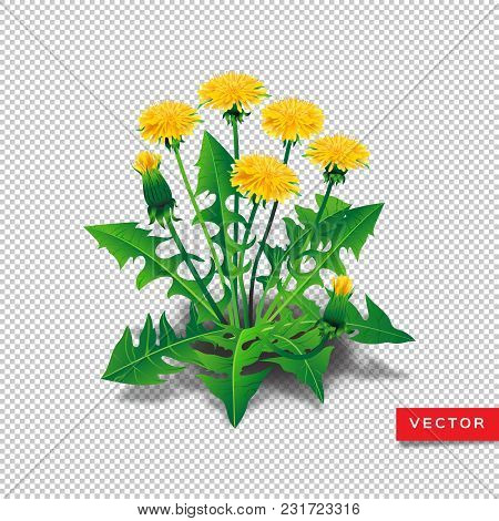 Vector Dandelions Isolated. Realistic Yellow Dandelions With Leaves On A Transparent Background. All