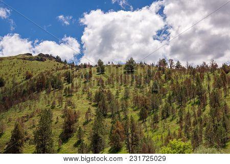 A Hillside Full Of Dying Evergreen Trees, Eastern Oregon.