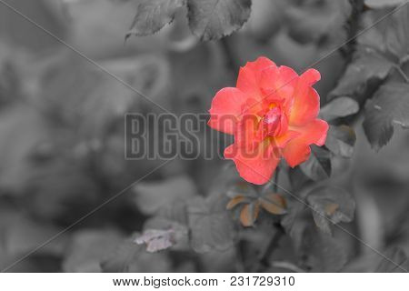 Orange Rose Flower With Soft Petals On A Blurred Background Of Leaves