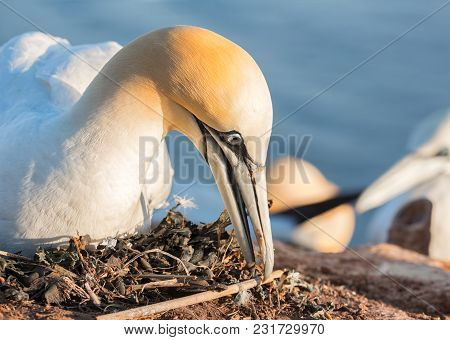Closeup Northern Gannet Preparing Nest Made Of Pieces Of Fishermen Nets At The Cliffs Of German Isla