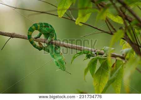 Veiled Chameleon With Prey In Mouth On Tree Branch