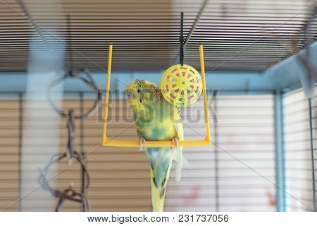 A Young Budgeigar Parrot Is Sitting On A Parrot's Swing And Playing With A Toy Ball Suspended.
