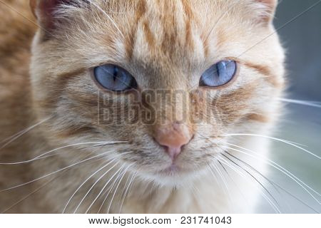 Brown Cat Looking Straight To Camera, ,domestic Cat, Relaxing Cat, Emotional Eyed Cats,cat Eyes