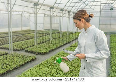 Young Seedlings Growing In Greenhouse. Young Woman Watering Seedlings In Greenhouse With A Spray Gun