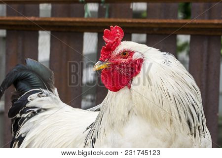 Cock- Rooster, Chicken In The Yard, In The Countryside