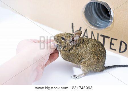 Small Australian Home Pet Degu.