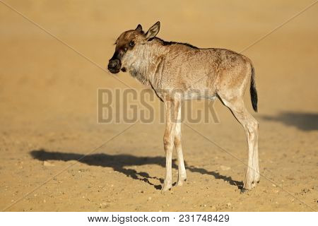 A young blue wildebeest calf (Connochaetes taurinus), Kalahari desert, South Africa