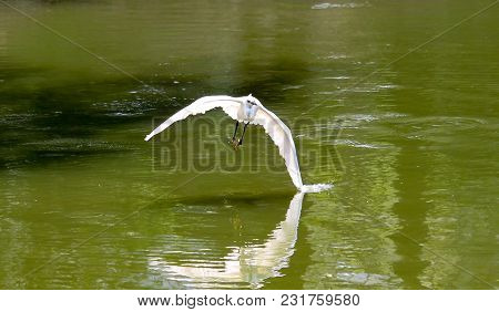 White Little Egret Flying Over The Water Surface With One Wing Just Tipping Into The Water