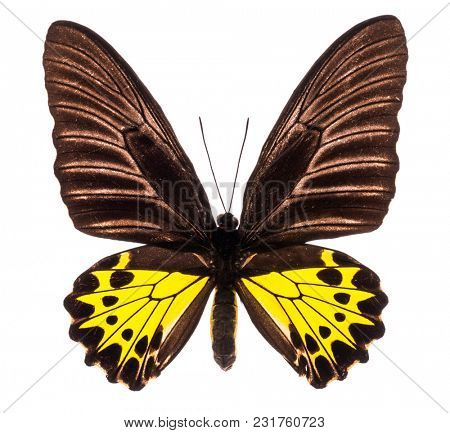 Common birdwing (Troides Helena) is a large green and yellow butterfly living in Asia and Australia. Male isolated on white