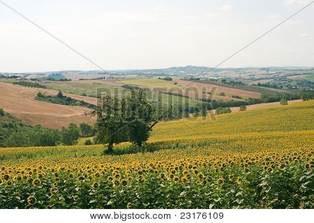 Marches (Italy) - Landscape at summer with sunflowers poster