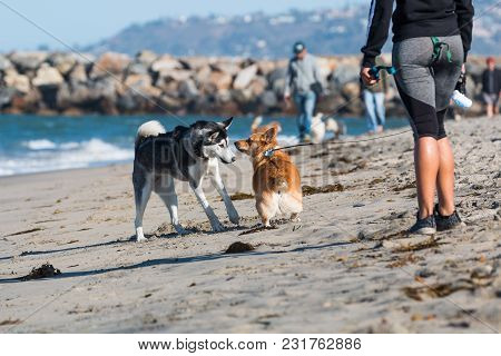 San Diego, California/usa - February 19, 2018:  An African American Woman Watches A Husky And Corgi