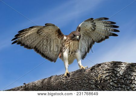 Red-tailed Hawk (buteo Jamaicensis) Landing On A Tree Branch Wings Wide Open. Blue Sky Background.
