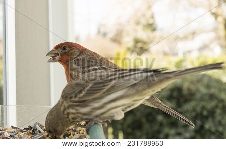 A Male House Finch Looks At The Camera While Taking In A Sunflower Seed