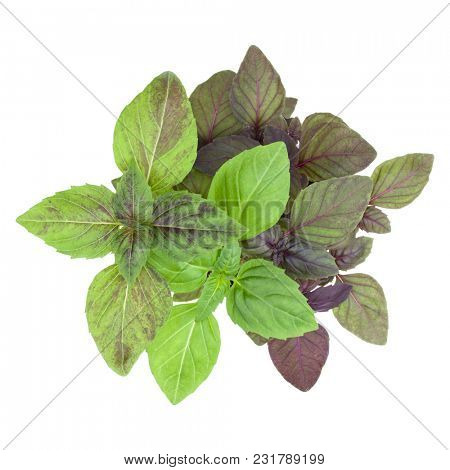 Fresh sweetl basil bouquet isolated on white background cutout. Top view.