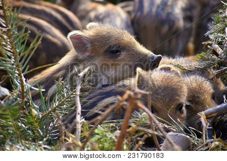 Beautiful Little Pigs Wild In Nature. Wild Boar. Animal In The Forest