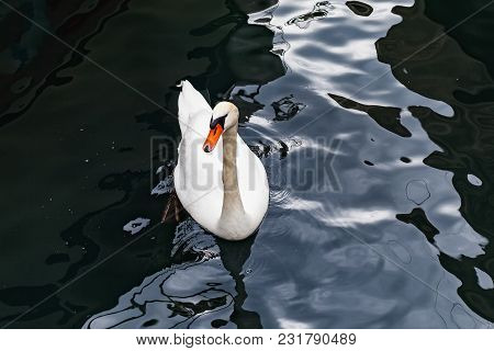 Graceful White Swan Swimming In Lake Geneva, In Lausanne City Harbor