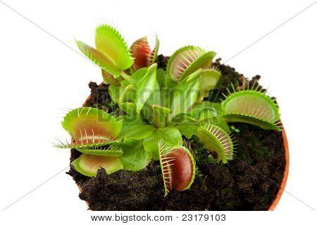 Venus Flytrap In A Pot
