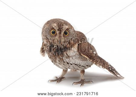 Oriental Scops-owl , Isolate On White Background