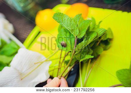 Mint Leaf. Green Fresh Mint, Selective Focus. Bunch Of Fresh Green Organic Mint Leaf Closeup. Pepper