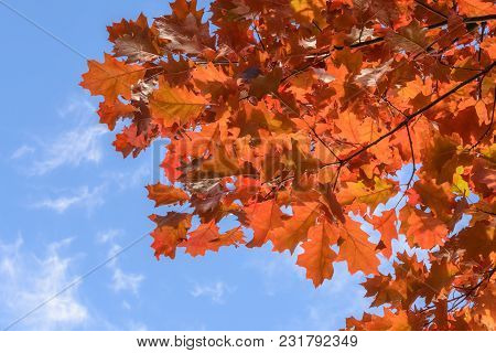 Red Oak Leaves Against The Blue Sky And And Clouds On Sunny Autumn Day