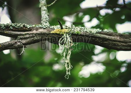 Lichen On A Tree Branch In A Summer Forest.