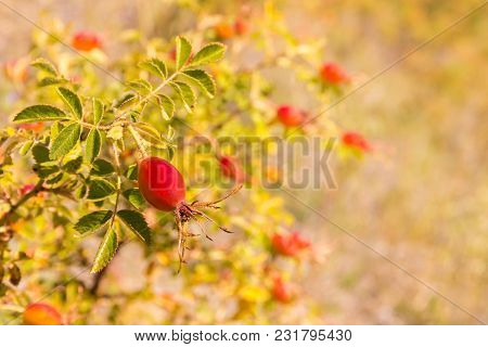 Ripe Rose Hip Berries Growing On Rose Hip Bush With Blurred Background