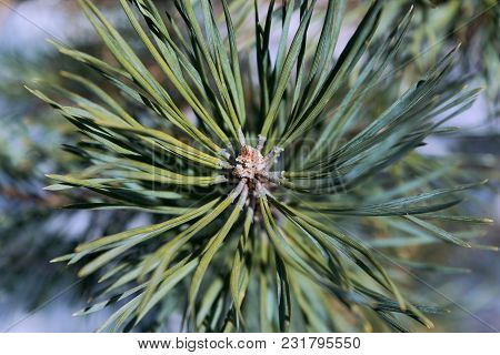 The Tip Of The Branch Of Pine Or Spruce Brown With Green Needles Around. Sharp Needles Are Arranged