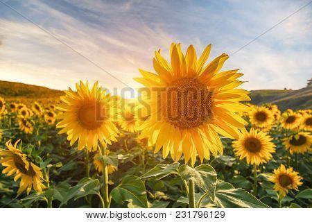 Summer Landscape: Beauty Sunset Over Sunflowers Field.