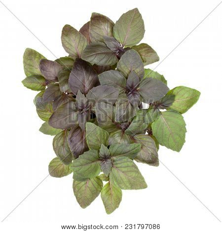 Fresh sweet red Dark Opal basil bouquet isolated on white background cutout. Top view.
