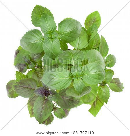 Fresh sweet Corsican basil herbs bouquet isolated on white background cutout. Top view.