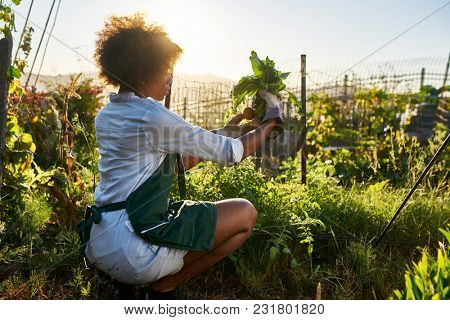 young african american millennial woman pulling golden beets from dirt in communal urban garden