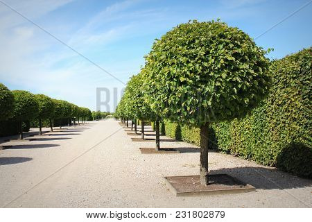 Straight Alley With Circle Trimmed Trees On The Sides With Blue Sky In Spring. Rows Of Trees In Park