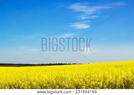 Blurred Background With Yellow Flowering Rapeseed Field Against Blue Sky. Landscape With Rapeseed Fi