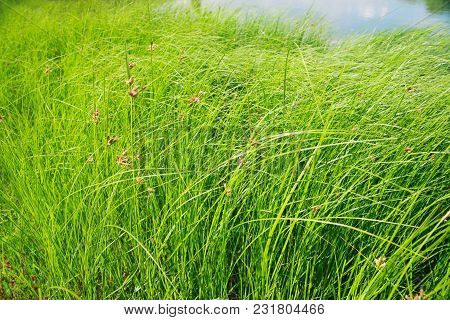 Thickets Of Young Reeds Near The Pond