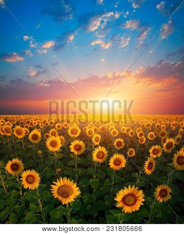 Natural Landscape, Landscape With Sunflowers At Sunset