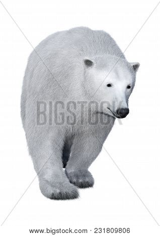 3d Rendering Of A Polar Bear Isolated On White Background