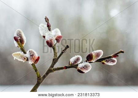 Branch Of Willow With Blossoming Buds In Early Spring, Close-up