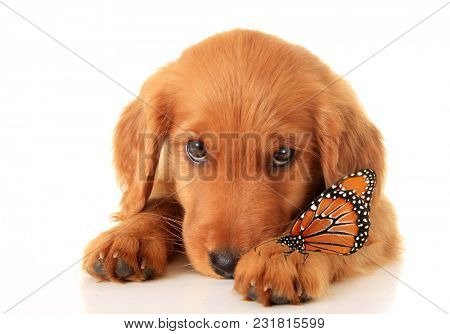 Cute puppy with a butterfly on her front paw.  She's a mix between a golden retriever and an Irish setter.
