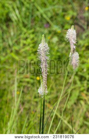 Hoary Plantain Plantago Media Blossom In Weed, Macro, Selective Focus, Shallow Dof.