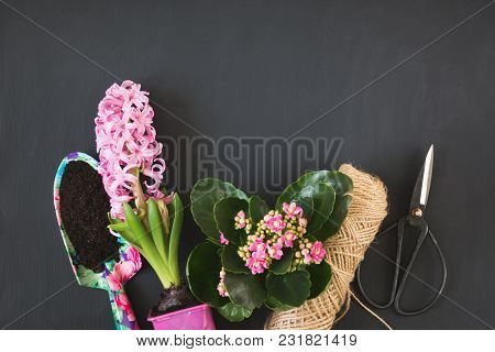 Gardening Spring Concept With Pink Calanchoe And Hyacinth And Tools On Black Chalkboard. Copy Space.