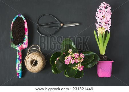 Gardening Spring Concept With Pink Calanchoe And Hyacinth And Tools On Black Board. Flat Lay. Top Vi