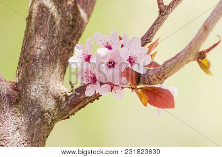 Several Flowers Of The Ornamental Plum Tree On The Background Of The Branches And Leaves Closeup At
