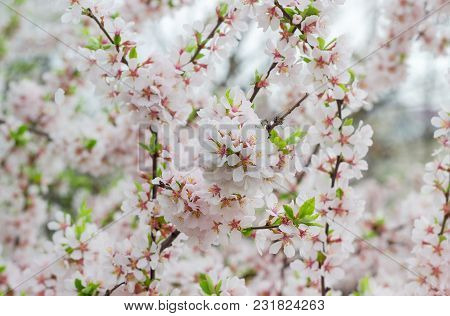 Background Of The Branches Of Cherry Tree With Flowers And Fresh Leaves Closeup At Selective Focus O