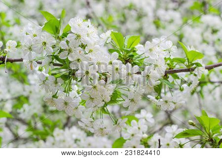 Branch Of Cherry Tree  With Flowers And Fresh Leaves Closeup At Selective Focus On Background Of A F