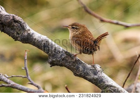 A Wren Perching On A Branch With Tail Raised