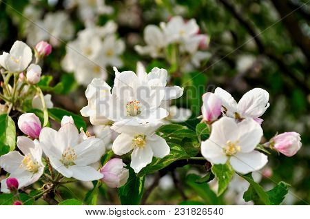 Spring Apple Flowers In Spring Blossom Lit By Soft Sunlight, Spring Floral Background With Blooming