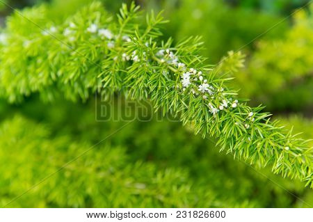 Flowers Bloom With Green Leaves On Natural Background. Branch With White Blossom, Spring. Blossom, B