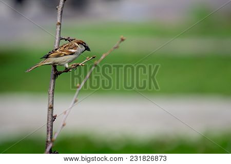 Sparrow On Branches Of Bushes With Blurred Background